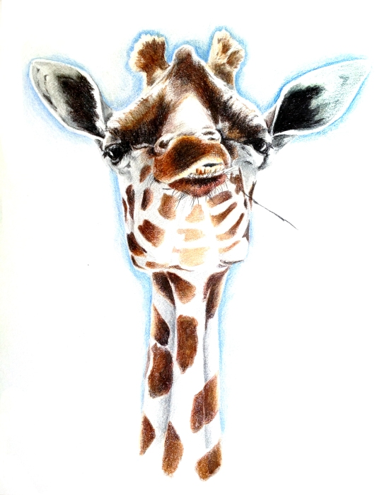 """In your Face"" 9″ x 12″  Colored Pencil on Paper This is a piece inspired by the awkward yet elegant features of a giraffe. The Giraffe's direct gaze is confrontational yet curious."