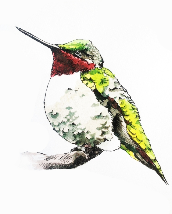 """Red and Green""  7.5"" x 7""  Ink and Watercolor  Though quick and agile, hummingbirds also need to rest."